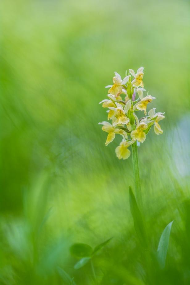 orchidea-sambucina-orchis-sambucina