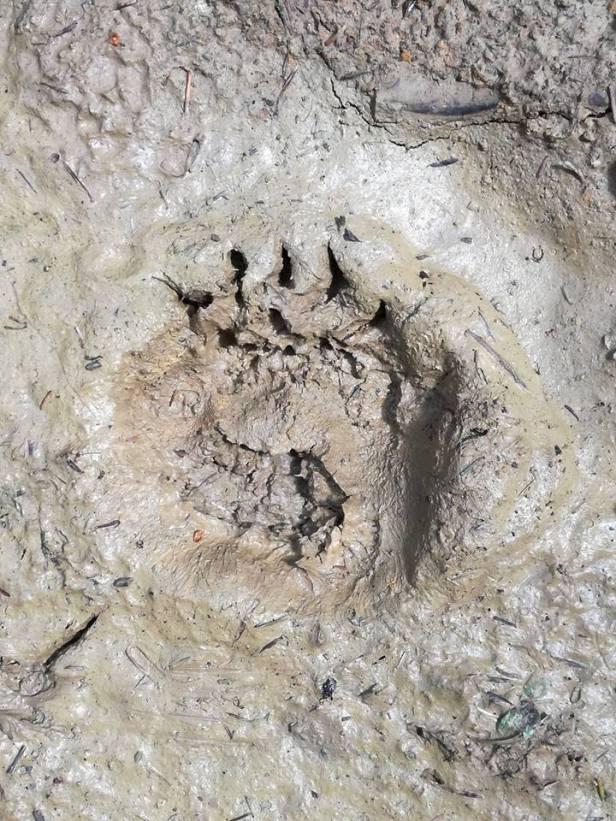 impronta orso